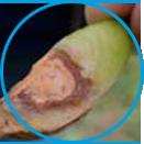 Fusarium example